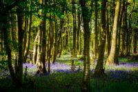 Charing, Dover, ElmerRalphDinkelaar, England, Kent, betoverd, bluebells, bomen, bos, boshyacinthen, bosplanten, enchanted, fairylike, fairytale, forest, geheimzinnig, magical, mysterious, ondergroei, secretive, sprookjesachtig, sunny, trees, undergrowth, woods, zonnig