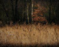 Elmer Ralph Dinkelaar, Landscape, Landschap, Weerribben, Woldlakebos, arid, autumn colors, autumn leaves, berken, birch, bomen, bos, brown, bruin, dor, fine art landscape, fine art nature, forest, herfstbladeren, herfstkleuren, impressionistic, impressionistisch, marsh, marsh forest, moeras, moerasbos, peatland, picturesque, reed, reed plumes, riet, riethalmen, rietpluimen, schilderachtig, trees, veengebied